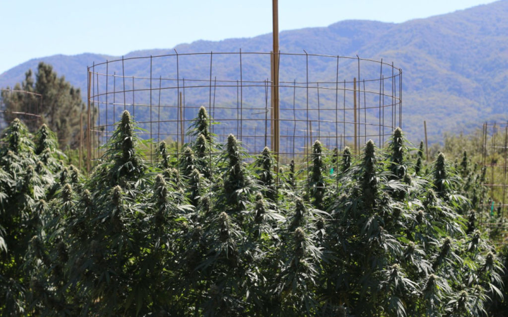 How the Cannabis Industry Can Do Better to Fight the Climate Crisis